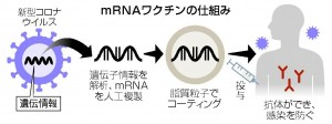 mRNAワクチンの仕組み